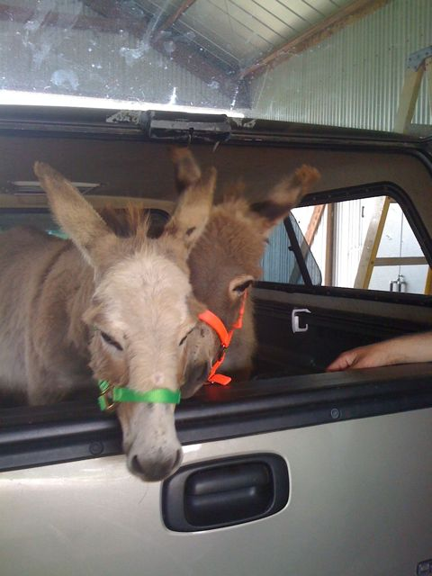 pair of miniature donkeys